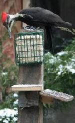 Pileated wooodpecker